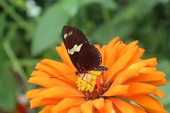 Doris Longwing  (Heliconius doris) (Kiasog) Tags: dorislongwing gardens heliconiusdoris wings fancy brookside