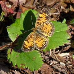 Pearl Crescent (Dendroica cerulea) Tags: summer butterfly newjersey nj insects somerset lepidoptera arthropoda pearlcrescent phyciodes invertebrate somersetcounty insecta nymphalidae phyciodestharos papilionoidea franklintownship nymphalinae negrinepote negrinepotenativegrasslandpreserve middlebushgreenway