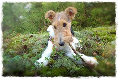 Foxterrier (T Sderlund) Tags: dog chien puppy wire wirehaired terrier hund mansbestfriend sigrid haired fia foxterrier 1000views valp koira 333views strvhrig fiasigrid