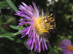 Hover Fly Macro taken with a Canon PowerShot SX280 HS IMG_5204 (Ted_Roger_Karson) Tags: macro canon hoverfly aster canonpowershot handheldcamera thisisexcellent macrolife asterflowers canonpowershotsx280hs canonsx280hs newenglandasterflower