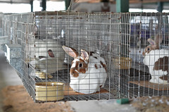 Looks like Peter finally got caught! (veadavies) Tags: bunnies farm peter rabbits farmlife countryliving centralpa portroyalpa juniatacountyfair