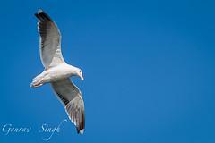 In Flight (gauravs82) Tags: ocean morning blue shadow sea bird wings seagull flight feathers wingspan hover circling frozenaction