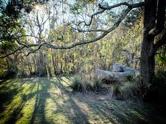 DSCF1728c (ManFromOz) Tags: trees morninglight blackheath bluemountains contrejour geoffsmith gemaxphotographics whitelypark