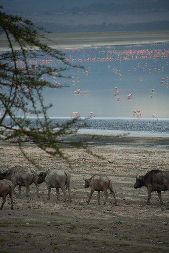 African Buffalos at sunset - Lake Nakuru (Kenya)