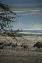 genus: Syncerus. African Buffalos at sunset - Lake Nakuru (Kenya)