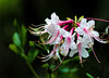 Honeysuckle Azelea (APGougePhotography) Tags: flower detail photoshop woods nikon south clarity adobe carolina azalea hitchcock honeysuckle aiken topaz lightroom d600 denoise topazlabs