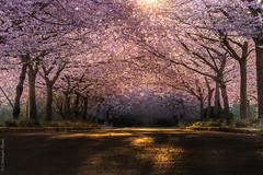 Cherry avenue.jpg (C Michaels Photo / Fo2michael) Tags: sunrise spring twilight blomster cherrytrees forr lyserd japanesecherrytrees kirsebrtr bispebjergkirkegrd japanskkirsebrtr