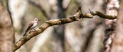 Spotted Flycatcher (Cath Scott) Tags: bird spotted flycatcher striata muscicapa