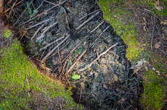 Earth split (Nick DiRico) Tags: forest moss nikon vermont floor earth roots sigma ground 1750 split d5100