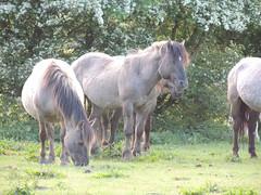 DSCN1291 (cermivelli) Tags: wild horses nature natuur lelystad ree oostvaardersplassen konik konikpaarden oostvaardersveld