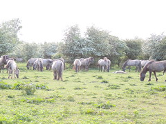 DSCN1289 (cermivelli) Tags: wild horses nature natuur lelystad ree oostvaardersplassen konik konikpaarden oostvaardersveld