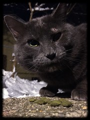 IMG_0314 (joekerstef) Tags: cats cat kitty kitties feral grayguy