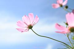 - Clear autumn sky. (shig.) Tags: autumn autumnsky clearsky sky bluesky cosmos flower flowers canon eos 70d