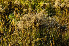 Autum 2016 - 69 (Hejma (+/- 4800 faves and 1,5milion views)) Tags: poland beginningofautumn goldenrodhuge list flora grass tansy