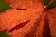 Japanese Maple leaf - backlit (wrcarroll57) Tags: