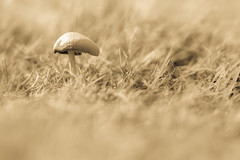 Fun Guy (Musical Chillies) Tags: funghi mushroom toadstool nature toned canon 80d monochrome bnw bw grass