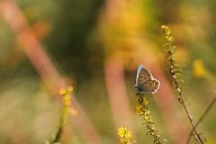 Ancora qui. (SimonaPolp) Tags: butterfly farfalla nature natura flowers fiori macro bokeh insetto bug animal wild