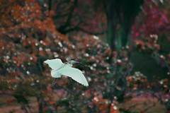 Nursery Heron (mara.arantes) Tags: voo fly nature bird egret heron ninho gara naturaleza animals
