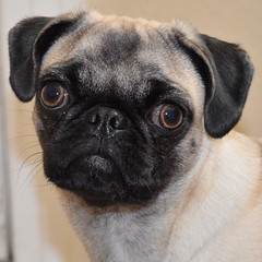 Zoey Pup 2 (Airbornebovine) Tags: animal indoor albuquerque newmexico dog pug closeup face pet