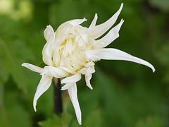Edo-giku (s.itto) Tags: shinjukugyoen autumn chrysanthemum november morifolium