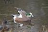 American Wigeon (Neal D) Tags: bc surrey crescentbeach blackiespit bird duck americanwigeon anasamericana