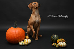 Our new pup, Rowe (Beenie Photography) Tags: rhodesian ridgeback mix rescue shelter dog puppy rowe cute adorable pet photography fall october pumpkin canon 5dk mark iv 5d4 tamron 2470 off camera flash young 568 ii