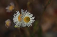 fleurs de novembre (bulbocode909) Tags: fleurs nature automne jaune