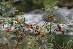 Hagebutten++Rose hips (@frauchi) Tags: natur landschaft hagebutte canon eos700d verzascatal busch staude