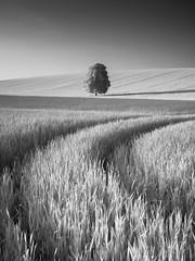 Two tracks and a tree (elliot.hook) Tags: hertfordshire landscape uk british spring summer barley wheat infrared ir hoya r72 tree lone