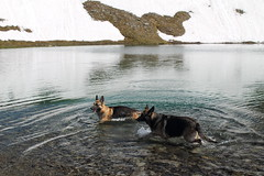 Cold Water (Willie Kalfsbeek) Tags: kalfsbeek alaska ak german shepherd dog water swim snow summer
