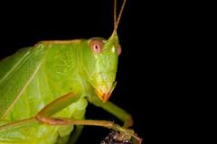 Katydid/Kiki Pounamu (Caedicia simplex) (Nga Manu Images NZ) Tags: caediciasimplex fscientificnames insects katydid