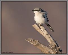 Loggerhead Shrike 9240 (maguire33@verizon.net) Tags: laniusludovicianus loggerheadshrike sanjacintowildlifearea bird shrike songbird wetlands wildlife nuevo california unitedstates us