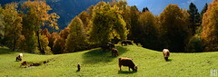 highlander (gregor H) Tags: bartholomberg vorarlberg sterreich at autumn season cattle highland montafon morning grass alps mountain trees colored sunlight backlight warm