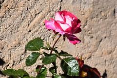Rosas de otoo (esta_ahi) Tags: lleida granyenadesegarra rosas rosal rosa rosaceae flor flora flores cultivadas segarra lasegarra lrida spain espaa