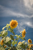 9-9-16 Sunflower Field (AhNicky) Tags: 9916sunflowers canon 70d tamron 2470mm f28 dominion drive field huge