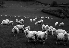 Defaid (Rhisiart Hincks) Tags: defaid ardiak caoraich deñved moutons sheep agriculture labourdouar laborantza tuathanachas nekazaritza amaethyddiaeth amaeth ceredigion kembra wales cymru a'chuimrigh kembre gales galles anbhreatainbheag 威爾斯 威尔士 wallis uels kimrio valbretland 웨일즈 велс gallas walia เวลส์ duagwyn gwennhadu dubhagusgeal dubhagusbán zuribeltz czarnobiałe blancinegre blancetnoir blancoynegro blackandwhite اسودوابيض، bw feketefehér melnsunbalts juodairbalta negrușialb siyahvebeyaz črnoinbelo черноеибелое чорнийібілий 黒と白 黑与白,zwartenwit mustajavalkoinen crnoibelo černáabílá schwarzundweis ewrop europe eu ue