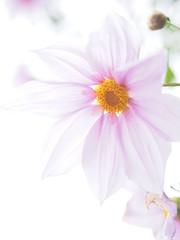皇帝ダリア (Polotaro) Tags: mzuikodigital45mmf18 flower nature olympus epm2 pen 花 自然 オリンパス ペン コウテイダリア 12月 庭 garden