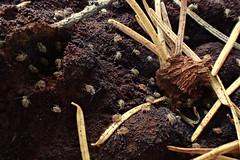 Ptenothrix indet. 3 (Bugldy99) Tags: animal arthropod arthropoda collembola springtail hexapod hexapoda symphypleona nature outdoors