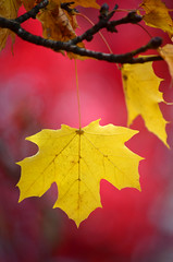Overwhelmed (James_D_Images) Tags: autumn fall leaves foliage maple yellow gold red bokeh branch spokane washingtonstate leaf