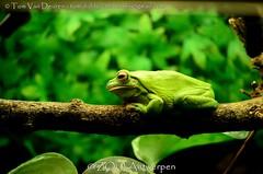 Witlipboomkikker - Litoria infrafrenata - White-lipped tree frog (MrTDiddy) Tags: witlipboomkikker litoria infrafrenata whitelipped tree frog wit lip boomkikker boom kikker amfibie amphibian zooantwerpen zoo antwerp antwerpen
