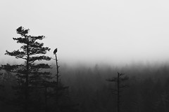 Vigil (zh3nya) Tags: eagle bird raptor birdofprey baldeagle orcasisland sanjuanislands blackandwhite bw monochrome silhouette trees forest moranstatepark pnw pacificnorthwest washington washingtonstate wa d750 nikkor70200f4 animals fauna wildlife wilderness outdoors hiking birdwatching