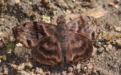 Common Bentwing, Ebrietas anacreon (Birdernaturalist) Tags: bombuscaro butterfly ecuador erynnini hesperiidae podocarpusnationalpark pyrginae richhoyer zamorachinchipe