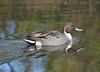 Northern Pintail - Male (Neal D) Tags: bc surrey crescentbeach blackiespit bird duck northernpintail anasacuta