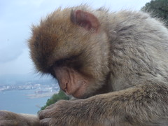 Barbary_Macaque_in_Gibraltar_10 (Abbey_L) Tags: animal barbarymacaque gibraltar macaque mammal monkey tjpio