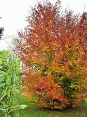 Un po' di colore in una giornata uggiosa.... (Eli.b.) Tags: pianta foglie albero colori autunno fall automne