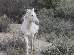 HorsesSaltRiver2-3215 (hubertstevecole) Tags: arizona hubertstevecole mustangs saltriver wildhorses wildlife tontonationalforest