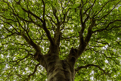 Tree of life (Caroline Oades) Tags: tree spring treeoflife life trunk branches lookingup lowpov lowviewpoint