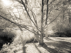 Trees Infrared (kckelleher11) Tags: 1445mm 2016 ep2 gardens ir ireland japanese kildare olympus infrared november panasonic shadow tree tress