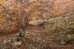 Les Agudes (Laia.L) Tags: montaa arboles hoja camino marrn caminar excursin otoo mountain trees leaf road brown walking hiking autumn muntanya arbres full cam marr excursi tardor montseny lesagudes catalunya catalonia catalua