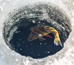 Ice cold..... #trowback #lastyear #fishing#icefishing #perch#cold#ice#vivid #color #everymomoment #fishon#composition #editorial #water#lake#hobby#whereiwanttobe#enjoylife #foodchain #fish#nikon (michasekdzi) Tags: instagramapp square squareformat iphoneography uploaded:by=instagram icefishing ice fishing cold vivid perch explore